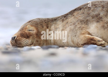 sleeping young grey seal; Latin: Halichoerus grypus - Stock Photo