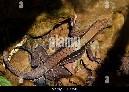 Panamanian Whiptail, sci. name; Ameiva leptophrys, in Altos de Campana national park, Panama province, Republic - Stock Photo