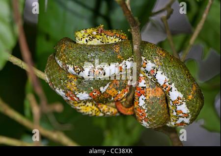 Eyelash viper (Bothriechis schlegelii) hiding on tree branches awaiting for a prey. - Stock Photo
