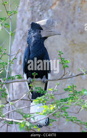 Black and White Casqued Hornbill (Bycanistes subcylindricus) male perched on branch, Masai Mara, Kenya - Stock Photo