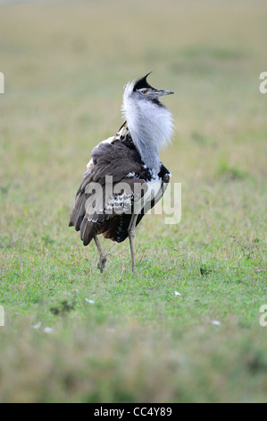 Kori Bustard (Ardeotis kori) male displaying, Masai Mara, Kenya - Stock Photo