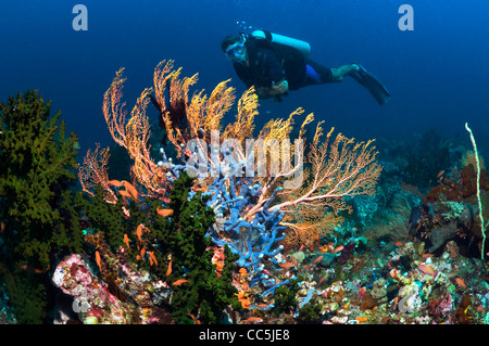 Gorgonians with diver on coral reef. Indonesia. - Stock Photo