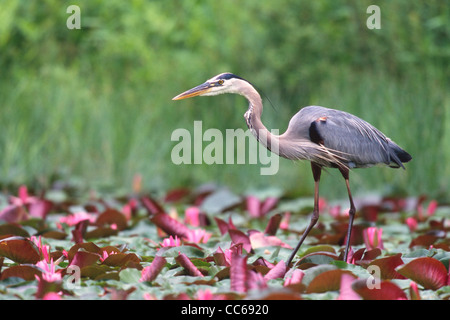 Great Blue Heron wading in pond with pink water lilies - Stock Photo