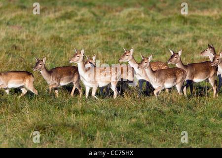Fallow Deer (Dama dama), Herd of Hinds, Sjaelland, Denmark - Stock Photo