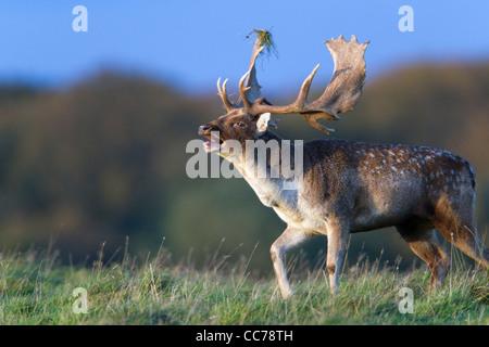Fallow Deer (Dama dama), Buck Roaring during the Rut, Royal Deer Park, Klampenborg, Copenhagen, Sjaelland, Denmark - Stock Photo
