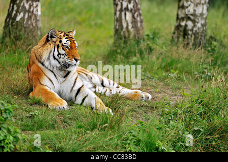 Siberian tiger / Amur tiger (Panthera tigris altaica) lying among trees, native to Russia and China - Stock Photo