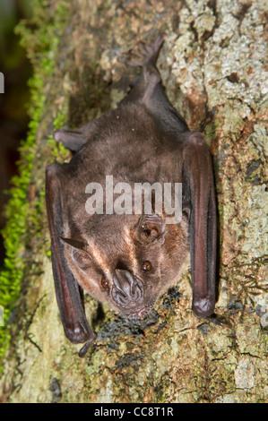 Jamaican, common or Mexican fruit bat (Artibeus jamaicensis). - Stock Photo