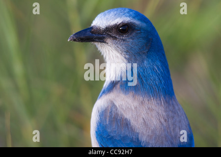 close-up of the head of a Florida Scrub-Jay (Aphelocoma coerulescens) - Stock Photo