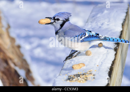 A blue jay perched on a post with a peanut. - Stock Photo