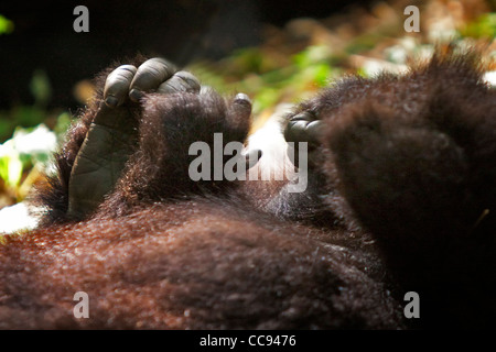 Close-up of the feet and hands of a toddler mountain gorilla in Rwanda. - Stock Photo