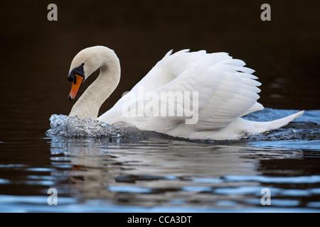 Mute Swan; Cygnus olor; swimming; UK - Stock Photo