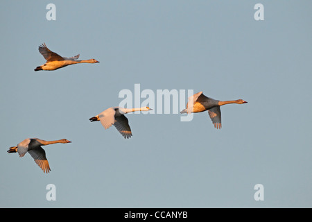 A family group of Bewick's swans in flight - Stock Photo