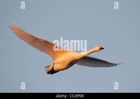 A Bewick's swan in flight - Stock Photo