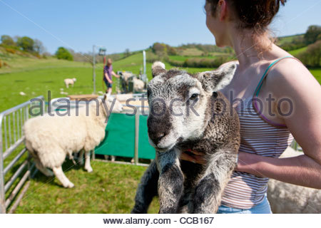 Woman holding newborn lamb in animal pen - Stock Photo