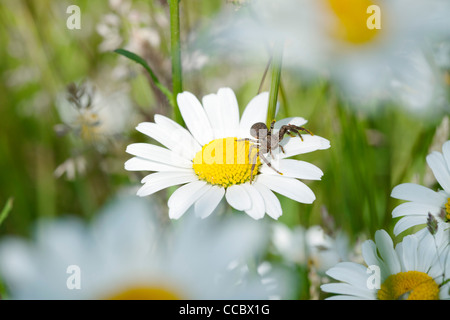 Crab spider on daisy - Stock Photo