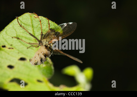 Hoverfly (Diptera syriphidae) killed by parasitic fungus - Stock Photo