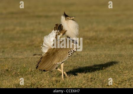 Africa Tanzania Ngorongoro Crater-Kori bustard in courtship display (Ardeotis kori;) - Stock Photo
