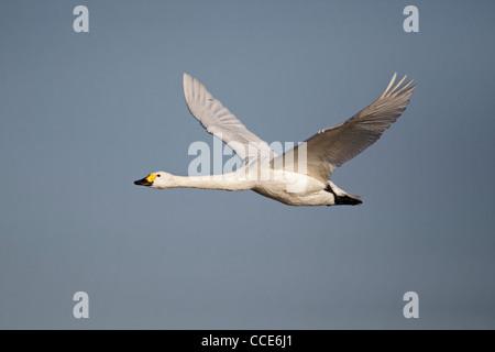 Bewick's swan, Cygnus columbianus, single bird in flight, Gloucestershire, January 2012 - Stock Photo