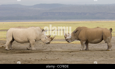Africa Kenya Lake Nakuru National Park-Two White Rhinos facing each other (Ceratotherium simum) - Stock Photo