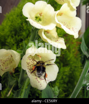 Macro shot providing detailed close up of pollen collected by a honey bee from unusual white Foxglove garden flowers. - Stock Photo