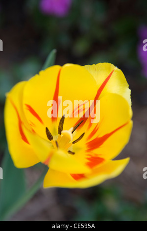 Yellow tulip with red streaks - Stock Photo