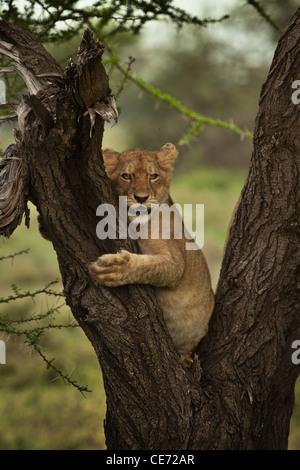 Young lion cub climbing umbrella Acacia treeportr - Stock Photo