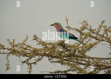 Lilac-breasted Roller (Coracias caudatus) on acacia branches - Stock Photo