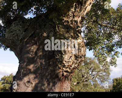 Cork Oak tree, Quercus suber, horizontal portrait in full leaf. - Stock Photo