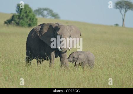 Mother elephant(Loxodonta africana) with suckling calf ,Masai Mara grasslands in Kenya. - Stock Photo