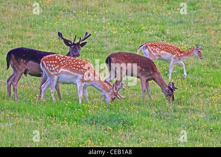 Young, Fallow Deer ( Dama dama ) Bucks and Doe, in meadow - Stock Photo