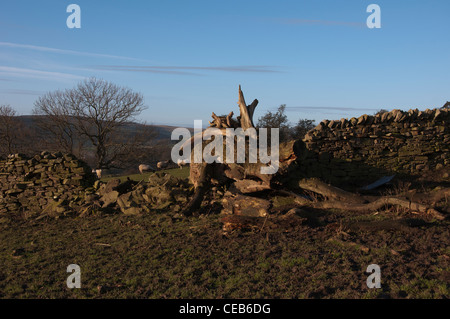 Old tree has fallen and knocked down part of a dry stone wall, in Weardale in County Durham. - Stock Photo