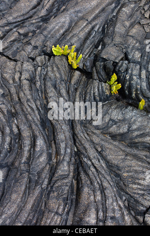 Pahoehoe lava and ferns Hawaii Volcanoes National Park, The Big Island. - Stock Photo