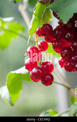 Redcurrant 'Redpoll' berries on a bush - Stock Photo