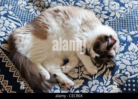 Ragdoll cat asleep on bed coverg - Stock Photo