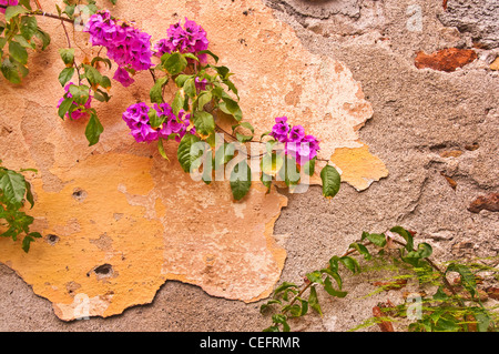 Old wall with pink bougainvillaea branch in a street of Taormina, Sicilia (Italia) - Stock Photo