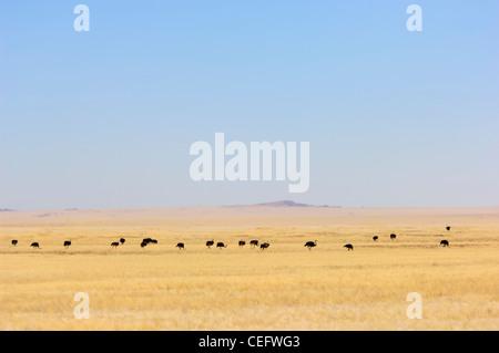 Large group of ostriches (Struthio Camelus) on the vast plain of Namib Naukluft Park, Namibia. - Stock Photo