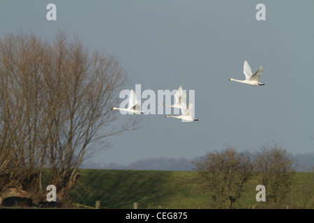 Bewick's Swan (Cygnus columbianus, ssp. bewickii), family group, in flight, Slimbridge, Gloucestershire, England, - Stock Photo