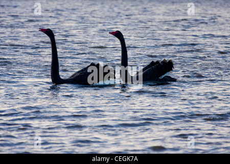 Pair of Black Swans ( Cygnus atratus ) courting on river - Stock Photo
