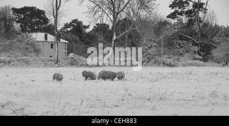 Sheep on snow covered field - Stock Photo