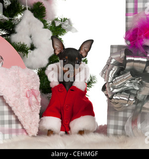 Chihuahua puppy, 4 months old, sitting with Christmas gifts in front of white background - Stock Photo