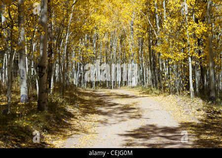 Dirt trail through a golden Aspen forest along the Continental Divide in the Colorado Rocky Mountains. - Stock Photo