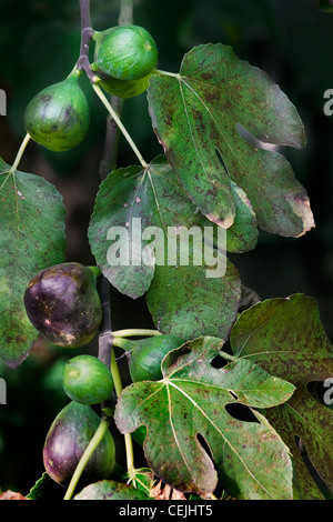 Branch with figs of Common fig tree (Ficus carica), Europe - Stock Photo