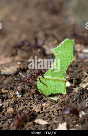 Leaf cutter ants carry their green food in the rain forest near Portobelo, Panama - Stock Photo