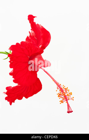 Hibiscus Rosa Sinensis. Red Hibiscus flower on white background - Stock Photo