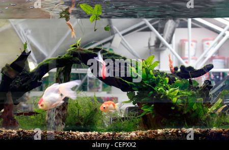 Goldfish in a tank. goldfish (Carassius auratus auratus) is a freshwater fish in the family Cyprinidae of order - Stock Photo