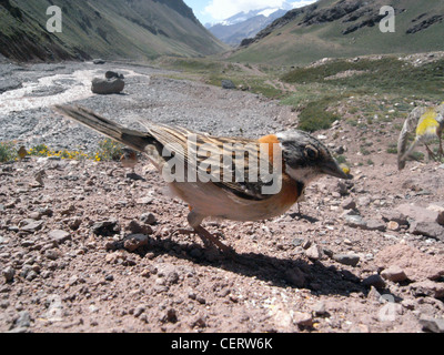 Rufous-collared sparrow (Zonotrichia capensis), Aconcagua National Park, Mendoza, Argentina - Stock Photo