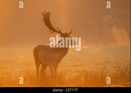 A Fallow Deer standing in Norfolk countryside in the morning mist. - Stock Photo