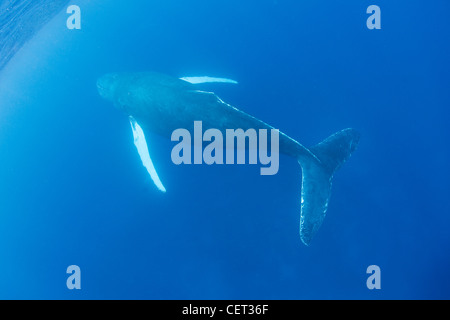 An adult Humpback whale, Megaptera novaeangliae, surfaces to breathe. Adults normally breathe every 15 to 20 minutes. - Stock Photo