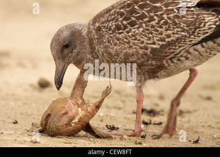 Immature Western Gull feeding on a fish head. - Stock Photo