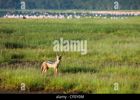 Africa, Kenya, Lake Nakuru National Park, Black Backed Jackal scoping out greater and lesser flamingos - Stock Photo